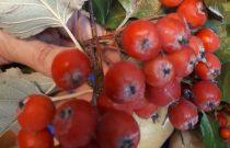 Czerwone korale – Smerfiki /Red beads/